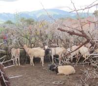 goats05TZ (200 x 176)