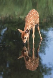 deer_water01 (180 x 261)